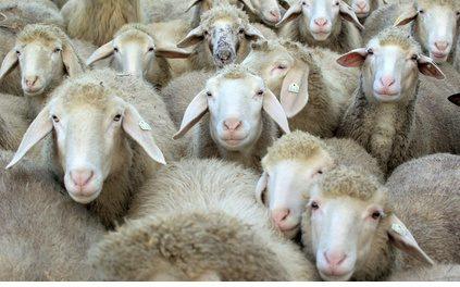 Ein glückliches Schaf