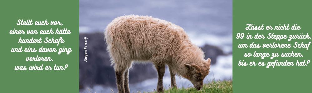 Schaf grasend