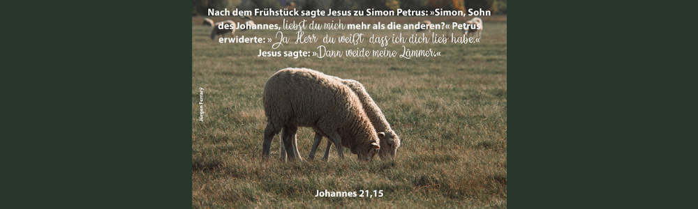 Schafe grasen auf der Weide