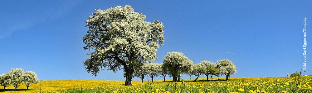 Frühling - blühende Bäume auf einer Butterblumenwiese